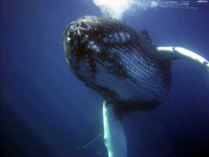 humback whale under water