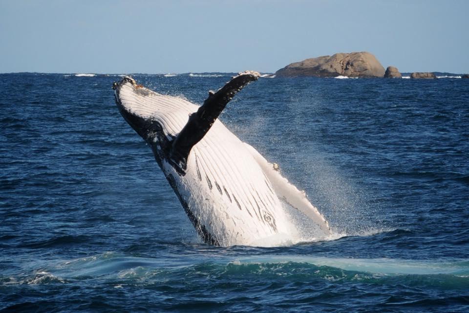 Humpback Whale in Western Australia