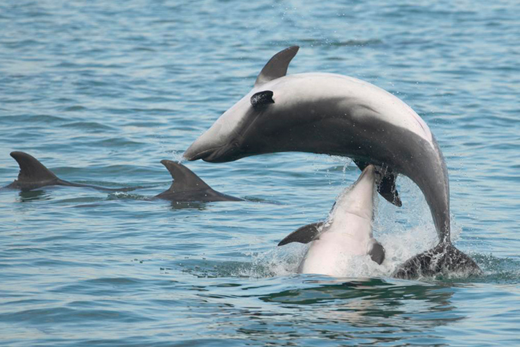 Male-Dolphins-Charm-Females-With-Bouquets-Too-Says-New-Study