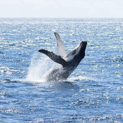 Whale Watching Dunsborough Humpback Breaching
