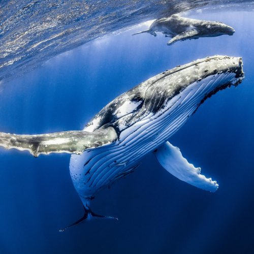 Whale Watching Tours Busselton discover humpback whales just beneath the surface